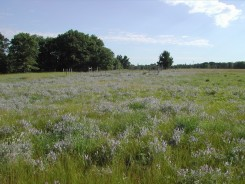 LEM (Field 62, abandoned 1957) with luxuriant growth of Vicia villosa