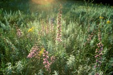 High diversity prairie plot in E01 experiment.