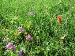 Closeup of MEM flowers: Prairie Phlox, Indian Paintbrush.