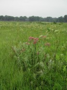 Cicuta maculata (Water Hemlock) and Asclepias incarnata  (Swamp Milkweed)