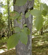 Ostrya virginiana (Ironwood)