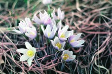 Pasque flower Photo by John Haarstad