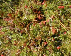 Pitcher Plants and Cranberries