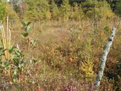 Tower Bog is a species rich Poor Fen that is being invaded by Tamarack