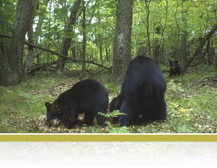 Black bear with cubs.