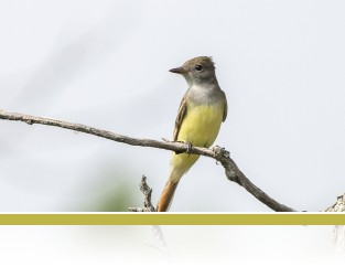 Great Crested Flycatcher, photo by Jim Gindorff