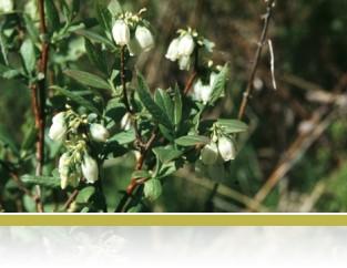 Vaccinium angustifolium (Common Blueberry)