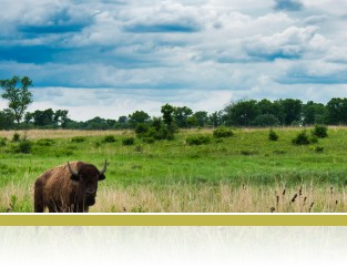 Bison enjoying the savanna landscape, photo by Chad Zirbel