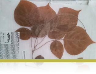A preserved plant sample from Cedar Creek.