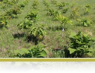 FAB bur oak trees (Quercus macrocarpa)