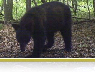 Trail camera image of a black bear.