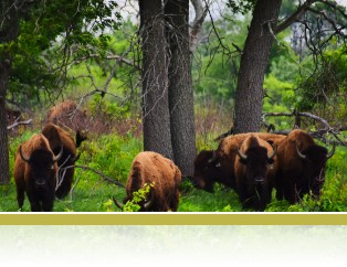 Bison at the woodland edge, photo by Chad Zirbel