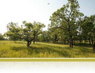 Oak savanna at Cedar Creek.