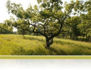 Oak savanna at Cedar Creek.